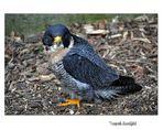 Kleiner Falke