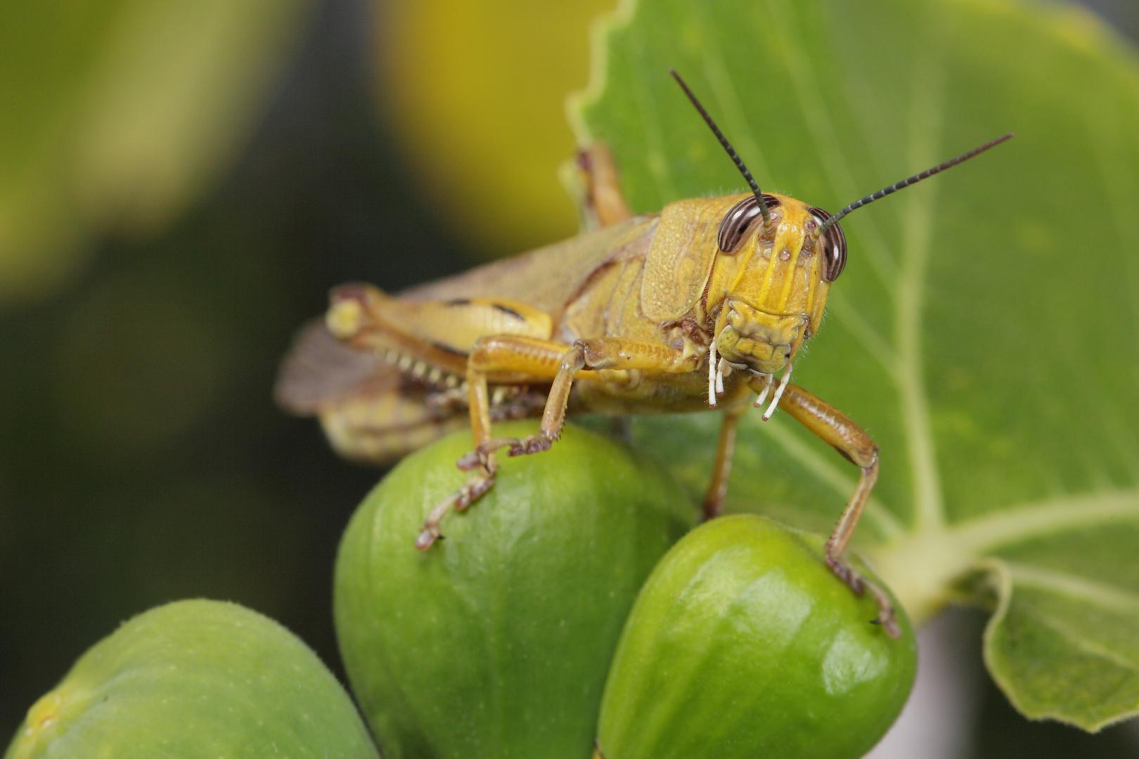 Kleiner Feigling (Ägyptische Wanderheuschrecke; Anacridium aegyptium)