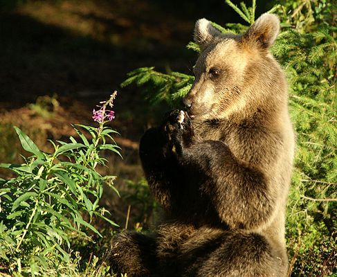 kleiner finnischer Bär