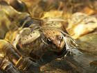 Kleiner Frosch im fliessenden Wasser des Flußes Orb