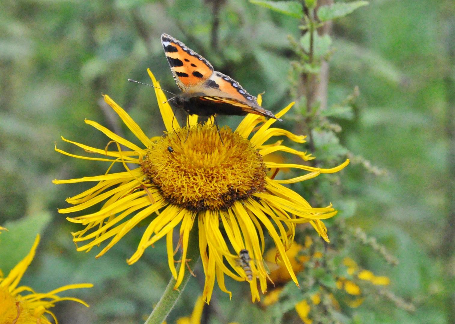 kleiner Fuchs 17: Sonnenhut-Blüte