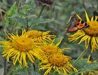 kleiner Fuchs 18: Sonnenhut-Blüte
