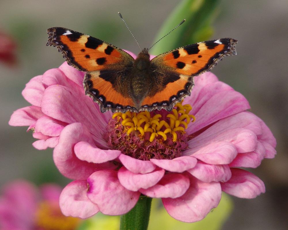 - Kleiner Fuchs (Aglais urticae) auf den Blumen -