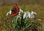 Kleiner Fuchs (Aglais urticae).......