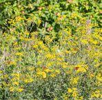 Kleiner Fuchs (Aglais urticae) in der Obstanlage