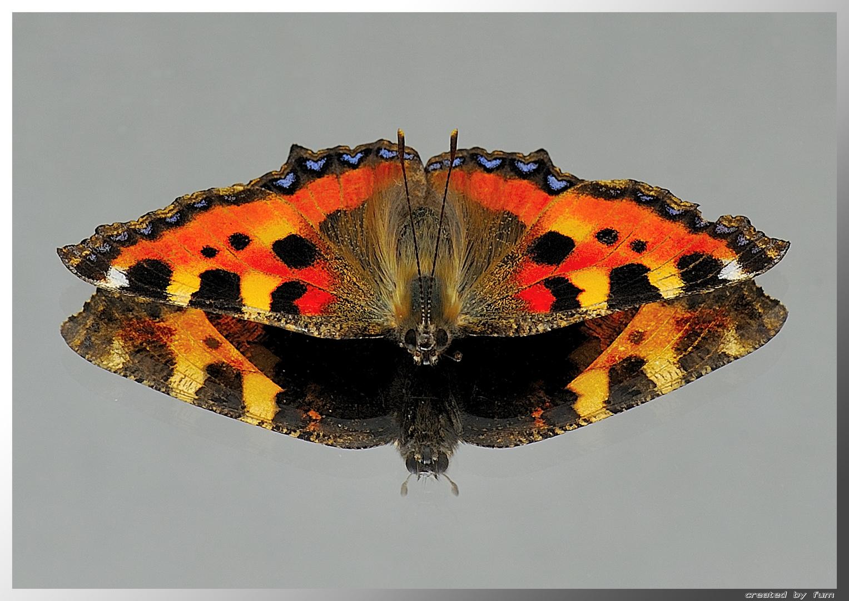 Kleiner Fuchs (Aglais urticae; Syn.: Nymphalis urticae)