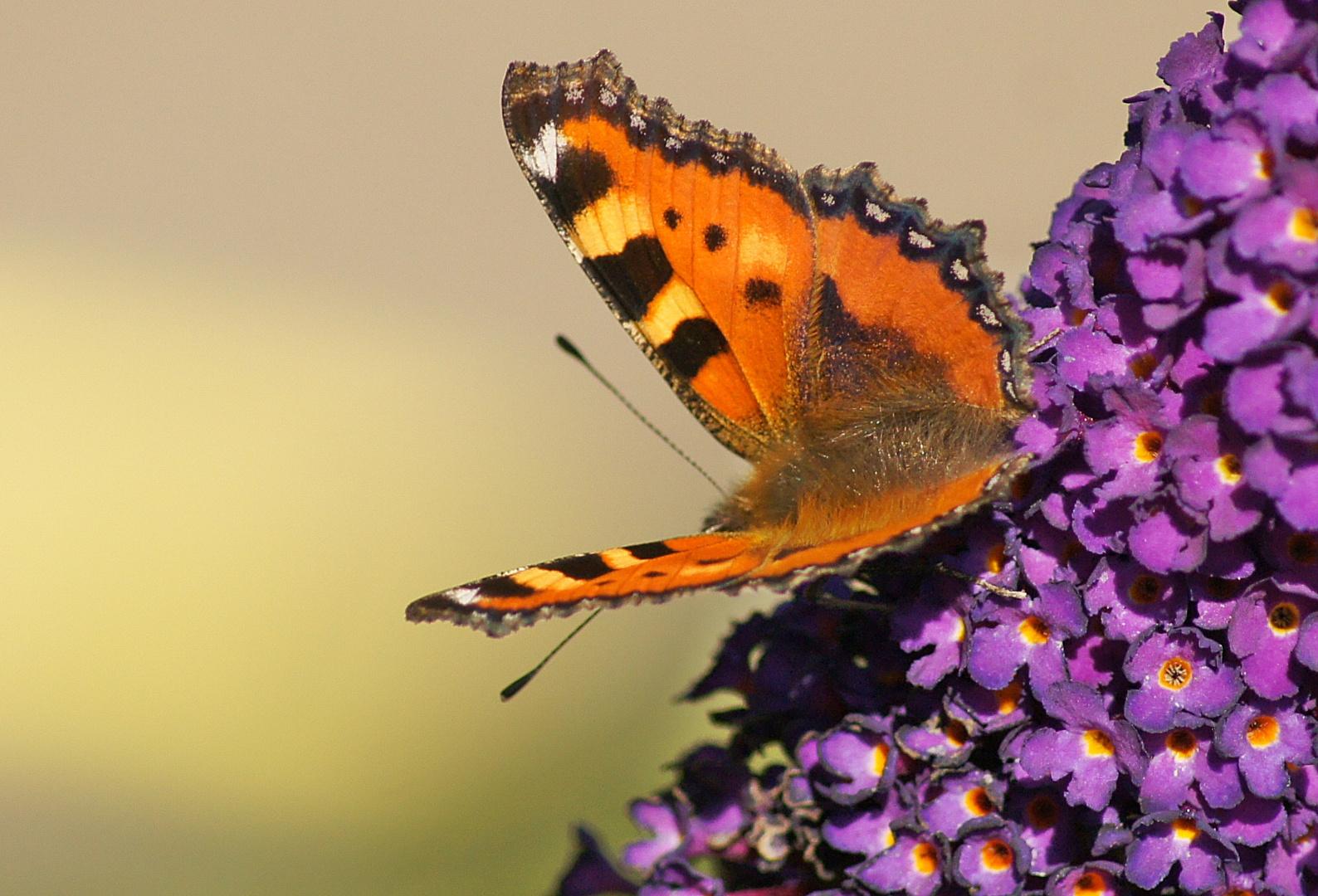 KLEINER FUCHS auf Schmetterlingsstrauch