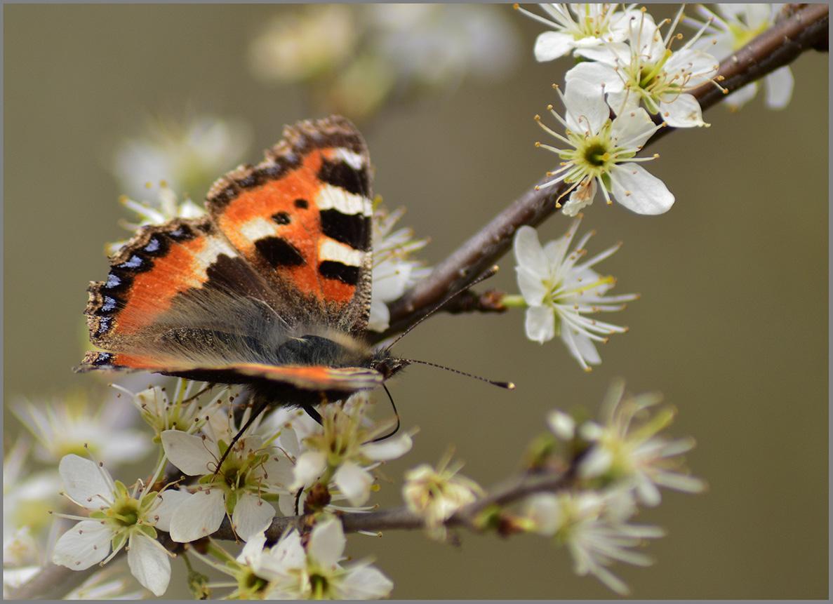 Kleiner Fuchs im Blütenrausch 1