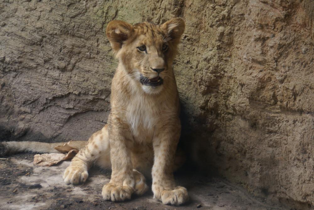 Kleiner ganz gross oder der König der Löwen