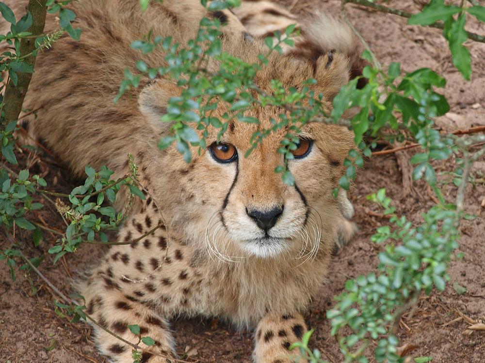 Kleiner Gepard - die Zweite