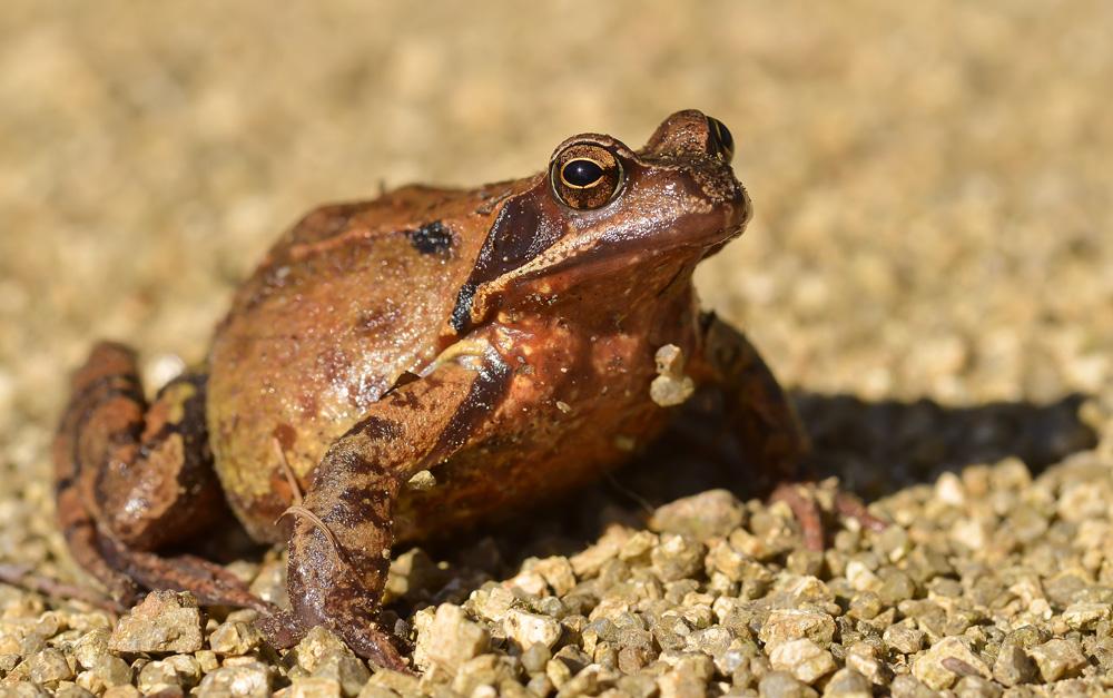 Kleiner Grasfrosch