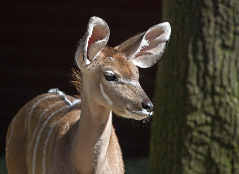 kleiner Großer Kudu