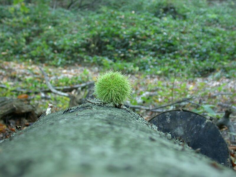 kleiner grünen Igel
