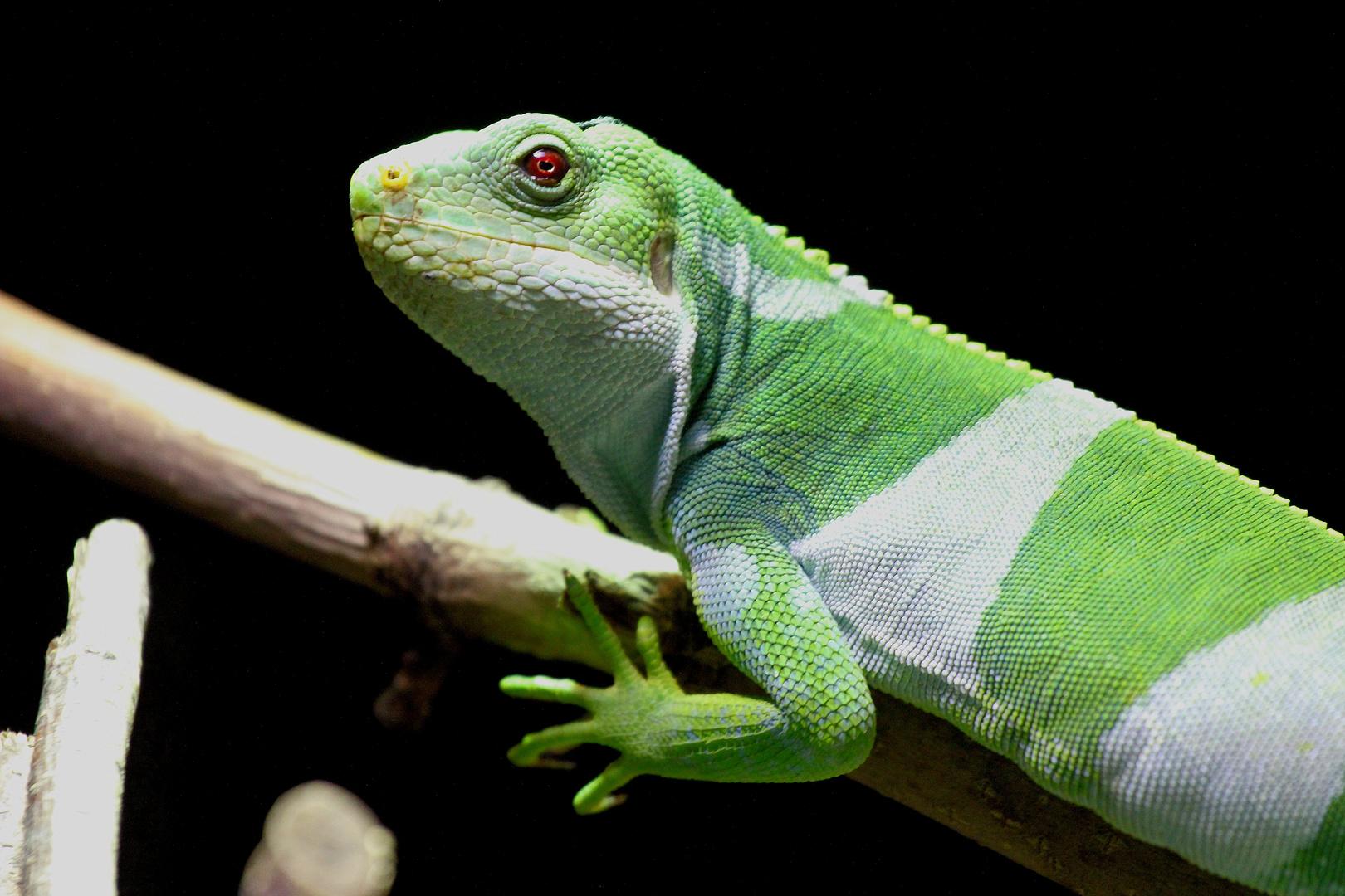Kleiner grüner Leguan
