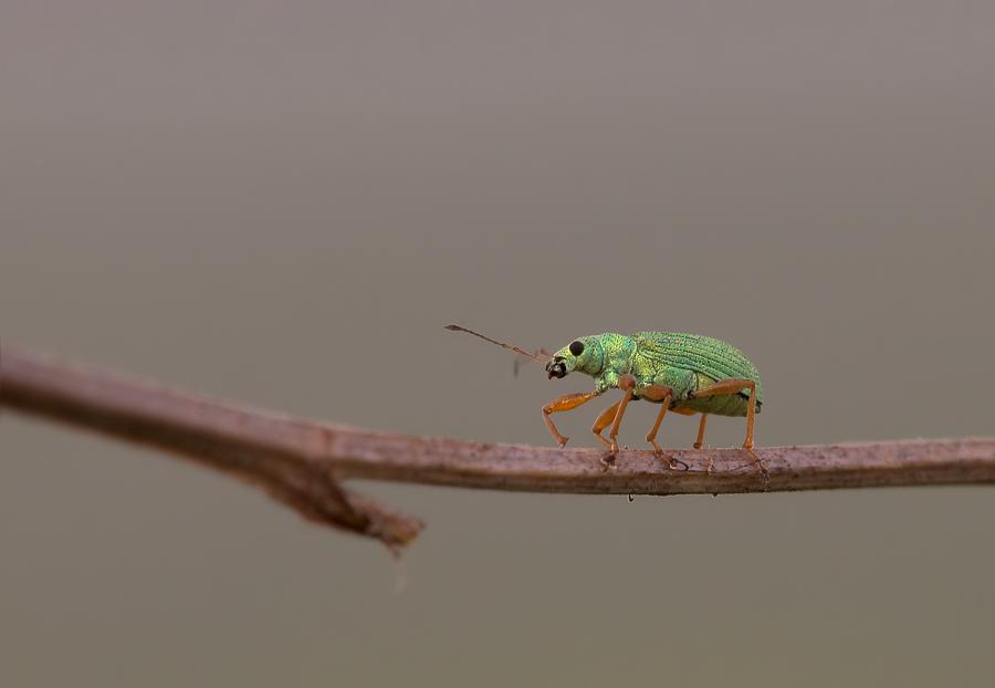 Kleiner grüner Rüsselkäfer