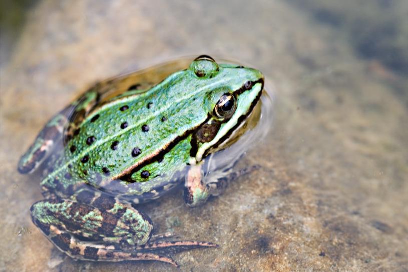 Kleiner grüner Teichfrosch