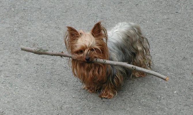 Kleiner Hund, ganz schön stark....