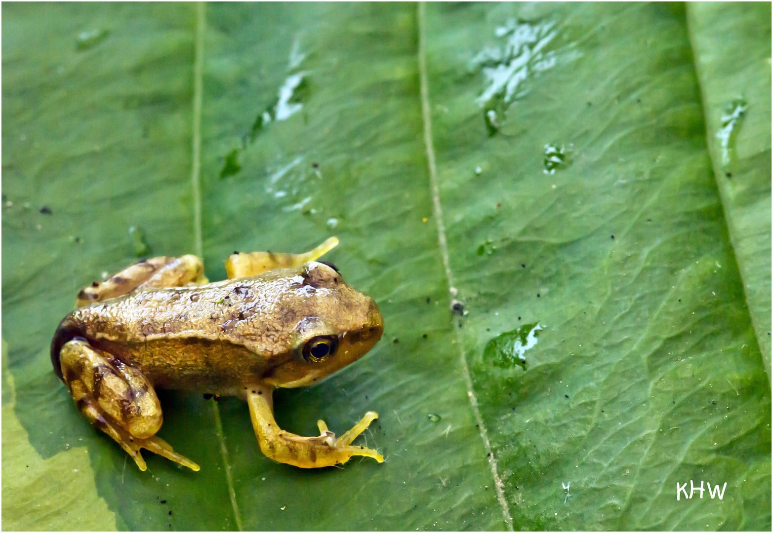 kleiner junger frosch 13 mm gro foto bild tiere wildlife amphibien reptilien bilder auf. Black Bedroom Furniture Sets. Home Design Ideas