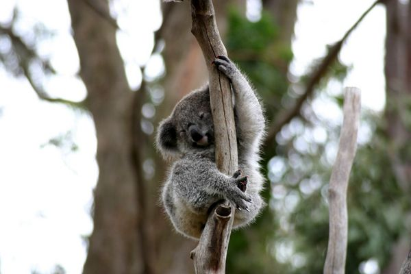 Kleiner Koala