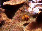 Kleiner Kugelfisch
