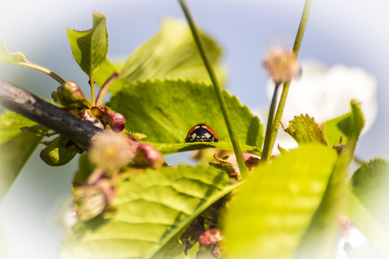 Kleiner Marienkäfer auf dem Apfelbaum