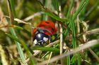 Kleiner Marienkäfer grüßt den Frühling