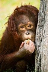 kleiner Orang-Utan