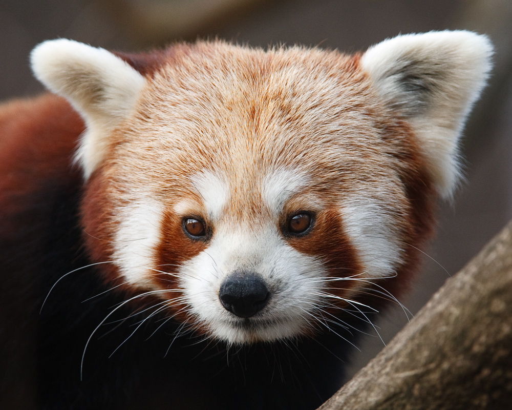 kleiner panda foto bild berlin natur portrait bilder auf fotocommunity. Black Bedroom Furniture Sets. Home Design Ideas