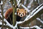 Kleiner Panda (Ailurus fulgens)