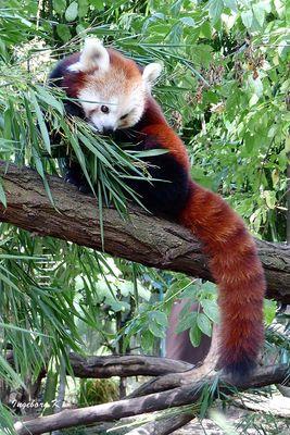 Kleiner Panda erkundet die Umwelt - Zoo Duisburg