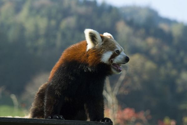 Kleiner Panda ganz gross