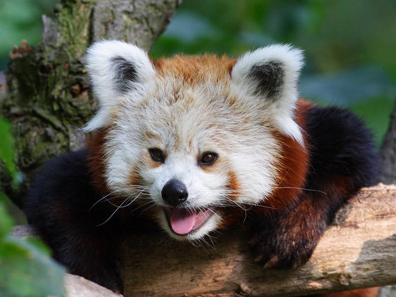 kleiner Panda I