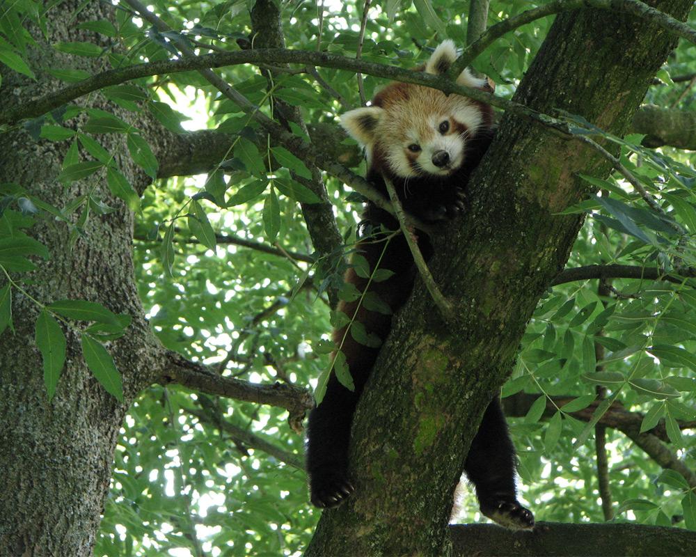 Kleiner Panda im Baum