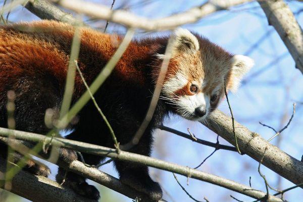 Kleiner Panda im Kölner Zoo