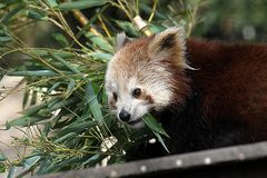 Kleiner Panda oder Katzenbär
