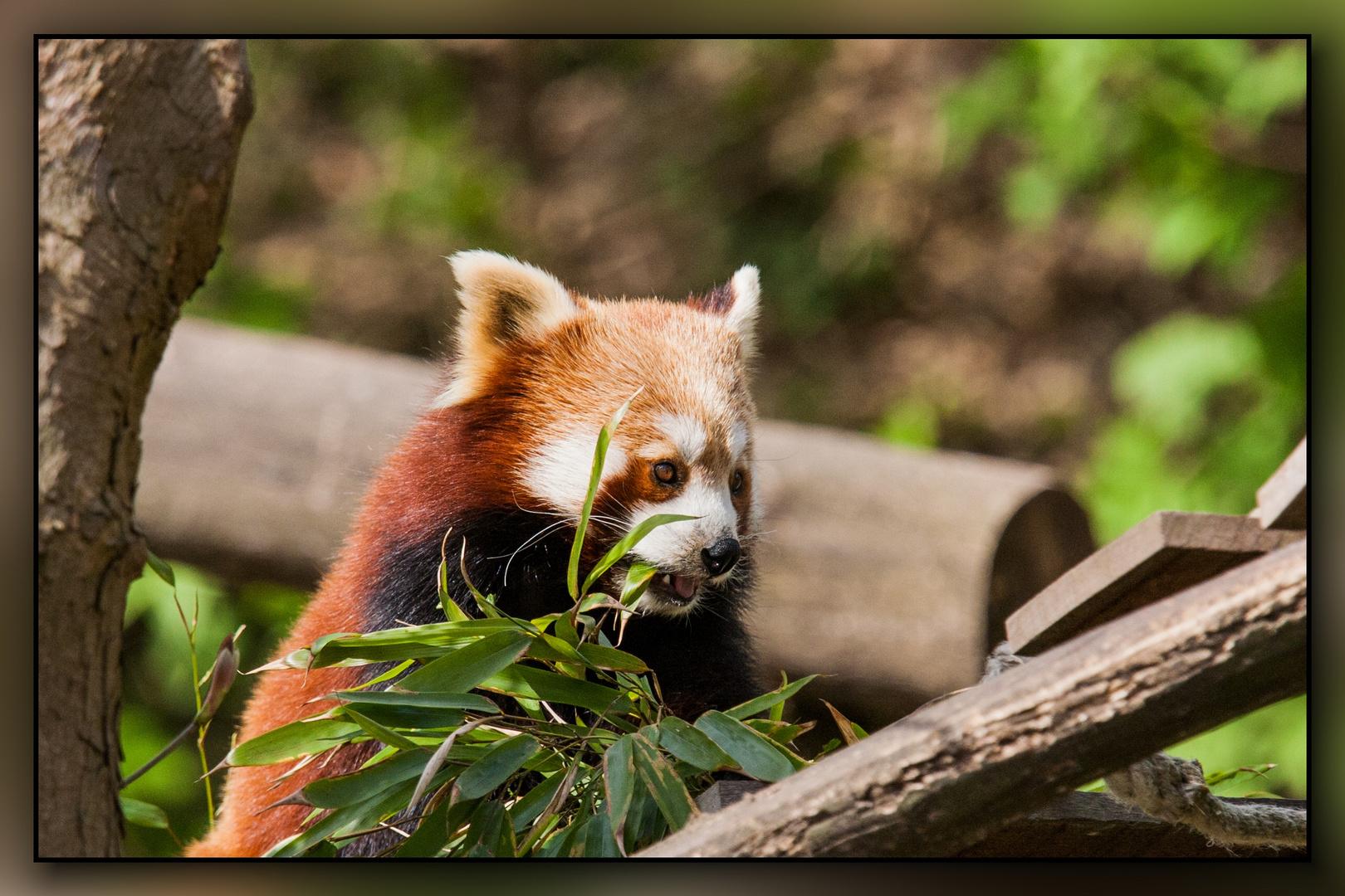 kleiner panda oder katzenb r foto bild haus und zoo tiere natur zoom bilder auf fotocommunity. Black Bedroom Furniture Sets. Home Design Ideas