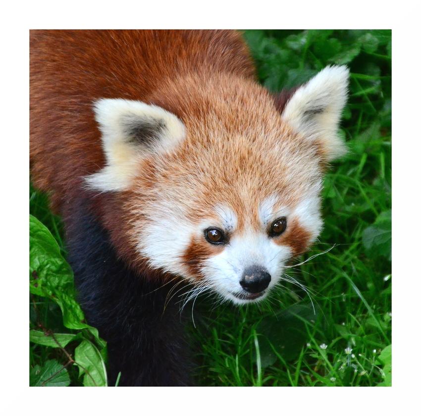 Kleiner Panda - Zoo Dormund