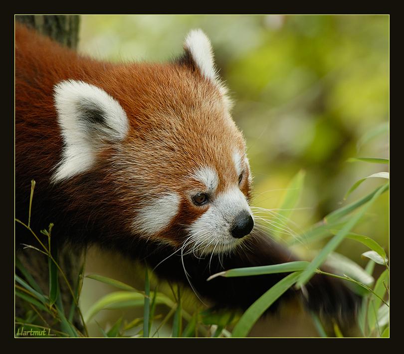 """kleiner Pandabär"""