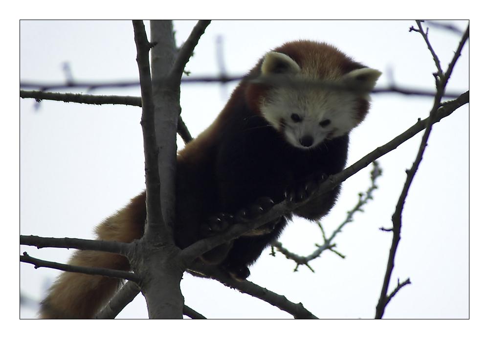 Kleiner Pandabär