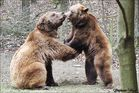 kleiner Revierkampf unter Braunbären