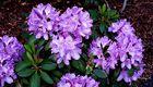 Kleiner Rhododendronbusch unter den Tannen