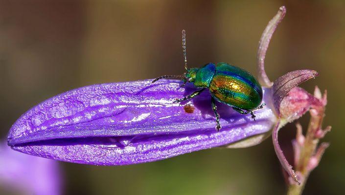 Kleiner schillernder Käfer auf einer aufgehenden Blüte!