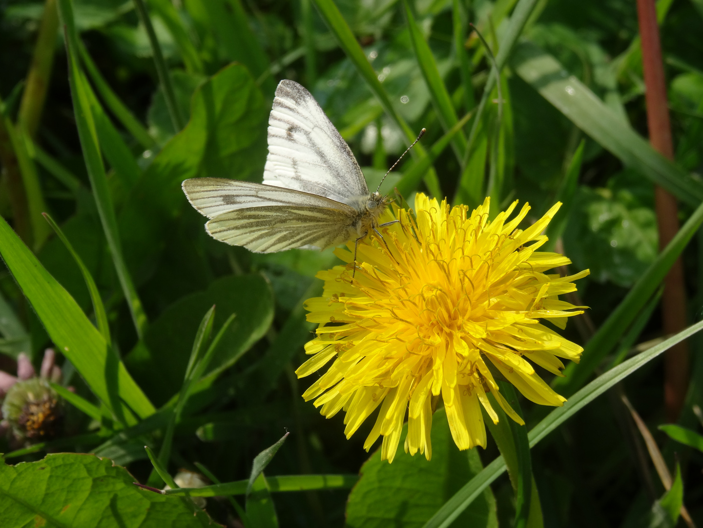 kleiner Schmetterling beim Frühstück
