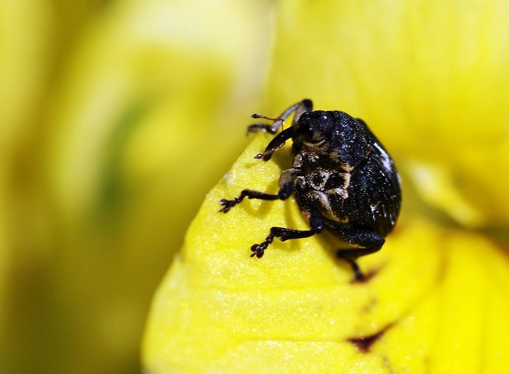 kleiner schwarzer k fer foto bild tiere wildlife insekten bilder auf fotocommunity. Black Bedroom Furniture Sets. Home Design Ideas
