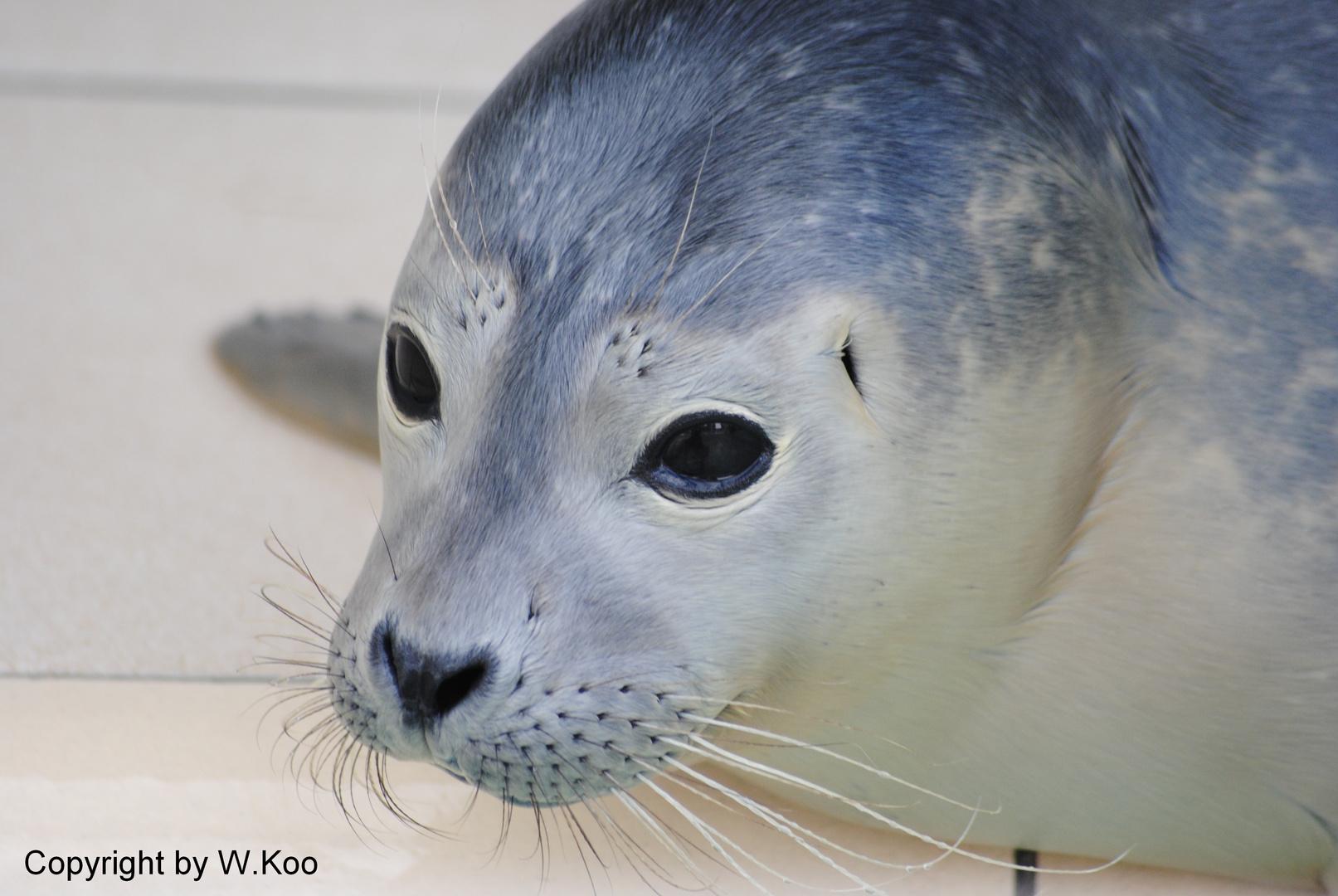Kleiner Seehund