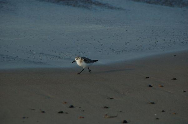 kleiner Strandvogel dessen Name ich nicht kenne...