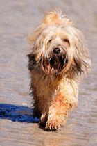 Kleiner Streuner - Tibet-Terrier