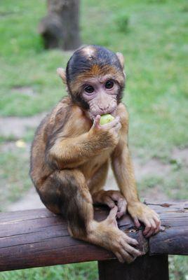 kleiner süßer Affe