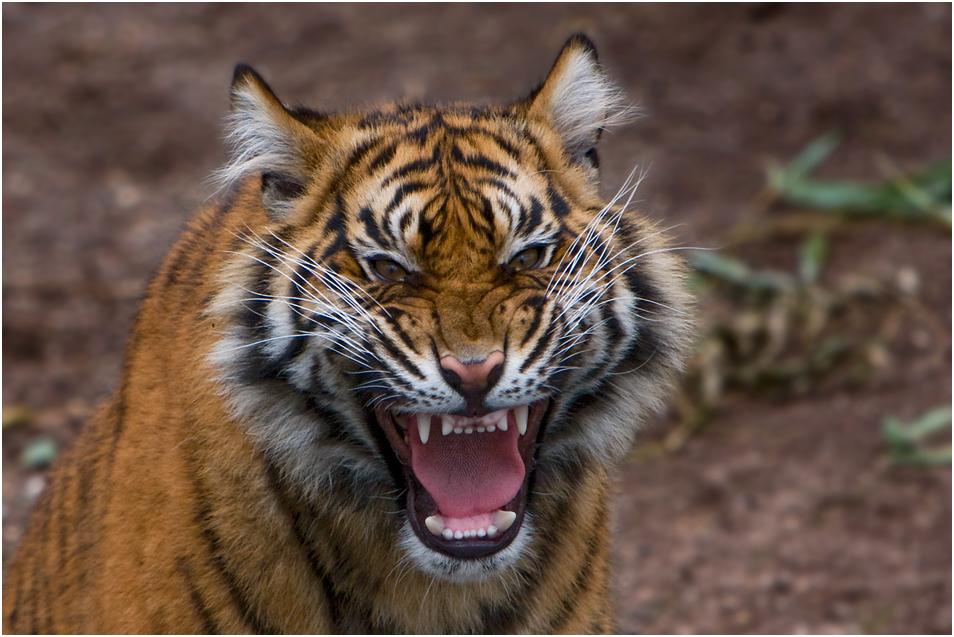 kleiner tiger ganz gro foto bild tiere zoo wildpark falknerei s ugetiere bilder auf. Black Bedroom Furniture Sets. Home Design Ideas