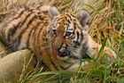 Kleiner Tiger, große Welt.